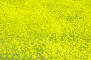一面黄色の菜の花畑。黄色、春,故郷イメージの写真素材 [FYI04819240]