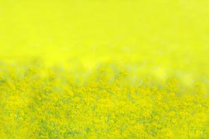 一面黄色の菜の花畑。黄色、春,故郷イメージの写真素材 [FYI04819241]
