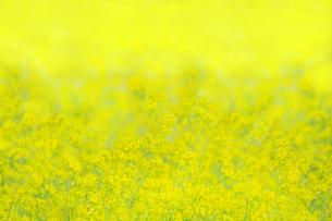 一面黄色の菜の花畑。黄色、春,故郷イメージの写真素材 [FYI04819242]