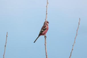 枝にとまるベニマシコのオスの写真素材 [FYI04819249]