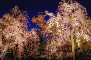 満開の桜のライトアップの写真素材 [FYI04819629]