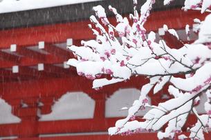 鎌倉の神社の雪と紅梅の写真素材 [FYI04819638]