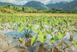 【農業】水を張ったタロイモ畑の様子 ハワイの写真素材 [FYI04819947]