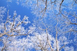 鳥沼公園の樹氷の写真素材 [FYI04820251]