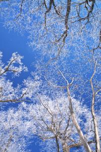 鳥沼公園の樹氷の写真素材 [FYI04820253]