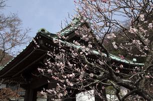 鎌倉野の海蔵寺の梅の写真素材 [FYI04820345]