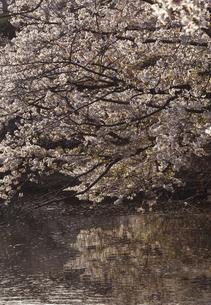 鎌倉の源平池の桜の写真素材 [FYI04820347]