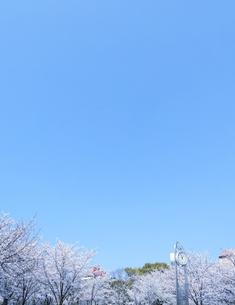 時計と桜の写真素材 [FYI04820350]