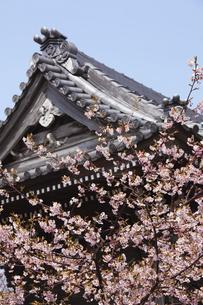 鎌倉の本覚寺の桜の写真素材 [FYI04820351]