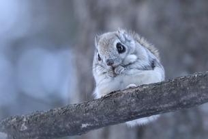 枝の上のエゾモモンガの写真素材 [FYI04820472]