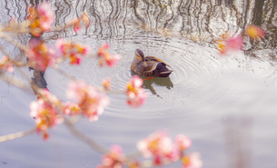 河津桜と鴨の写真素材 [FYI04820529]