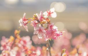 早春の河津桜の写真素材 [FYI04820530]