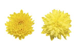 白バックの黄色い菊の花首の写真素材 [FYI04820538]