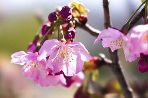 桜(陽光桜)の写真素材 [FYI04820694]