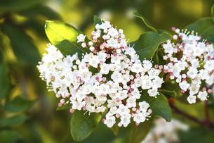 ビバーナムティヌスの花の写真素材 [FYI04820695]