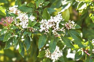 ビバーナムティヌスの花の写真素材 [FYI04820696]