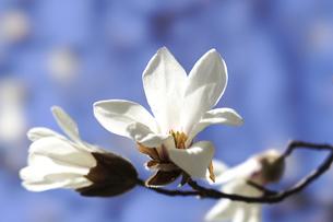コブシの花の写真素材 [FYI04820745]