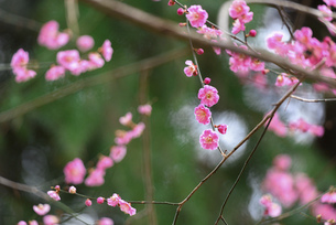 ピンクの梅の花の写真素材 [FYI04820756]