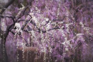 城南宮の満開の梅の写真素材 [FYI04820972]