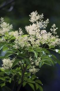 シマトネリコの白い花の写真素材 [FYI04820982]
