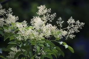 シマトネリコの白い花の写真素材 [FYI04820983]
