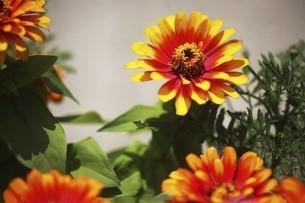 百日草・赤と黄色の花の写真素材 [FYI04820984]