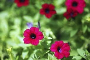 ペチュニアの赤い花の写真素材 [FYI04820986]