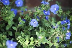 エボルブルスの青い花の写真素材 [FYI04820987]