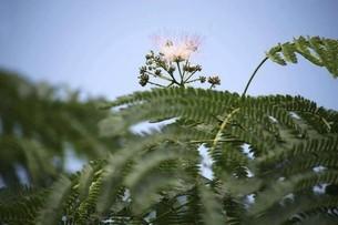 ネムノキの開花の写真素材 [FYI04820988]