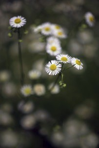 野草・ヒメジョオンの花の写真素材 [FYI04820989]