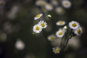 野草・ヒメジョオンの花の写真素材 [FYI04820990]