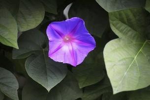 木立ち朝顔の花の写真素材 [FYI04820993]