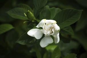 香るクチナシの白い花の写真素材 [FYI04820998]