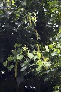 ナンキンハゼの花穂の写真素材 [FYI04820999]