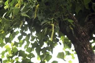 ナンキンハゼの花穂の写真素材 [FYI04821000]