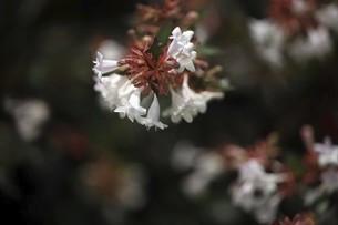 アベリアの白い花の写真素材 [FYI04821001]