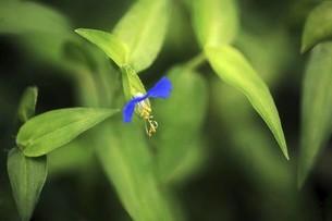 野草・ツユクサの花の写真素材 [FYI04821009]