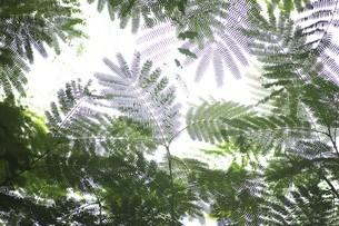 ネムノキの葉模様の写真素材 [FYI04821010]
