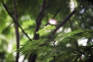 ネムノキの紅い花の写真素材 [FYI04821011]