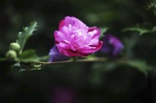 ムクゲ・八重咲きの花の写真素材 [FYI04821014]