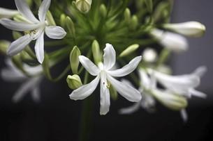 真っ白なアガパンサスの花の写真素材 [FYI04821016]