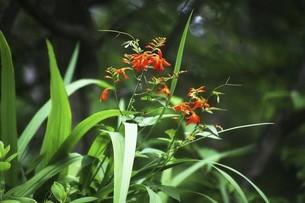 林間に咲くモントブレチアの花の写真素材 [FYI04821017]