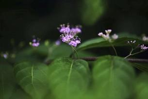 小さなコムラサキの花の写真素材 [FYI04821020]
