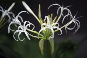 山野草・ハマオモトの花の写真素材 [FYI04821022]