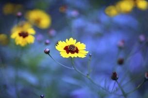 コレオプシスの黄色い花の写真素材 [FYI04821028]