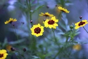 コレオプシスの黄色い花の写真素材 [FYI04821029]