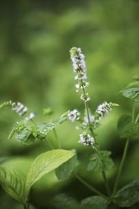 ハーブ・ペパーミントの白い花の写真素材 [FYI04821030]