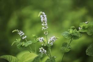ハーブ・ペパーミントの白い花の写真素材 [FYI04821031]