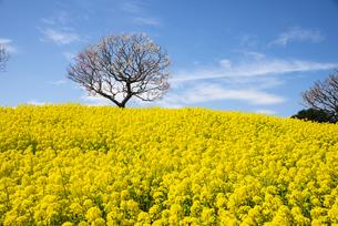 国営ひたち海浜公園 菜の花の丘に一本のウメの木と青空の写真素材 [FYI04821169]