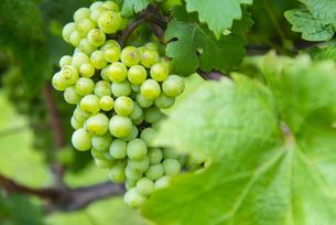 果実園の葡萄の写真素材 [FYI04821206]